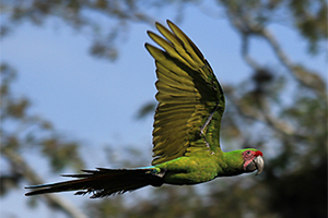 Great Green in Flight1 300x200