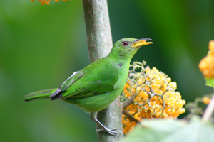 Green-Honeycreeper-01.jpg