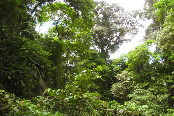 Forest at La Selva by Christa Markley