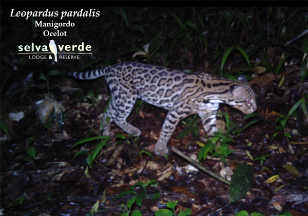Leopardus pardalis camera trap