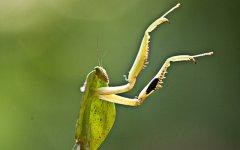mantis_selva_verde_001.jpg