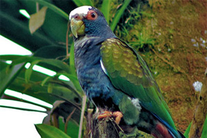 10 white crowned parrot